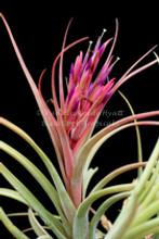 Tillandsia concolor X paucifolia