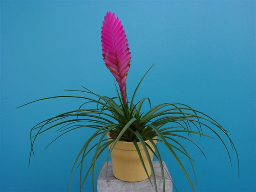 Tillandsia Vincent