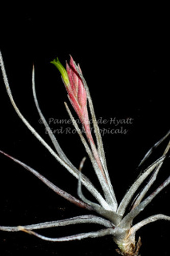 Tillandsia tortilis