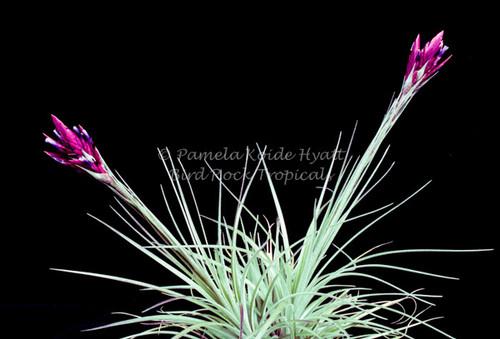 Tillandsia floribunda (Ecuador)