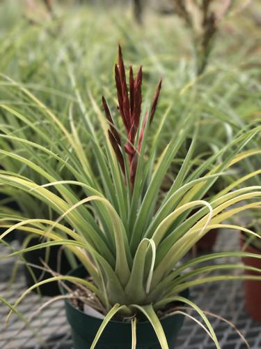 Tillandsia Latas au Pair (T. flabellata X fasciculata)