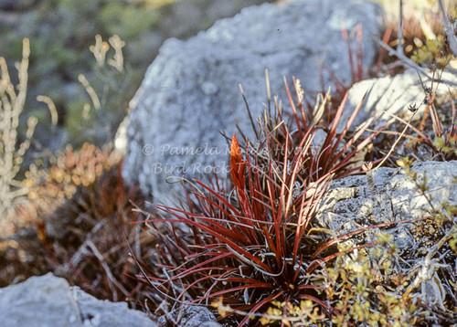 Tillandsia rodrigueziana aff. (red form)