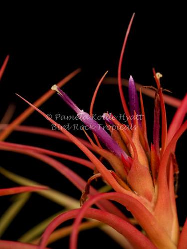 Tillandsia Peachy Keen - (T. concolor X T. capitata 'Mexico Peach')