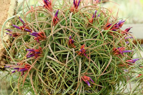 Tillandsia Califano - (T. baileyi x ionantha), Mexico