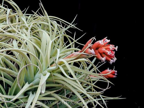 Tillandsia recurvifolia v. subsecundifolia X gardneri