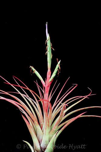 Tillandsia Caribbean Sunrise - (T. balbisiana X tricolor)