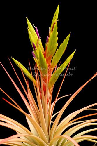 Tillandsia concolor x fasciculata