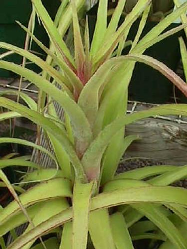 Tillandsia Eric Knobloch - (T. streptophylla X brachycaulos), Mexico