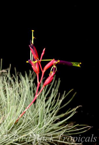 Tillandsia fuchsii v. fuchsii forma gracilis