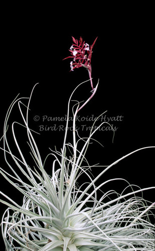 Tillandsia straminea (red form)