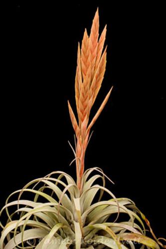 Tillandsia zacapanensis