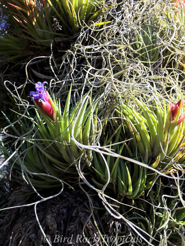 Tillandsia neglecta (green form)