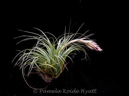 Tillandsia Feather Duster