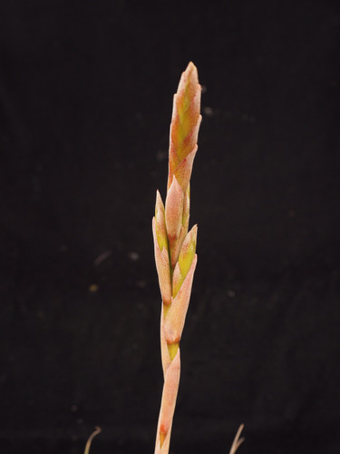 Tillandsia tricolor X roseoscapa