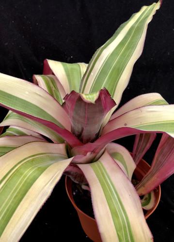 Aechmea miniata v. discolor ( forma variegata)