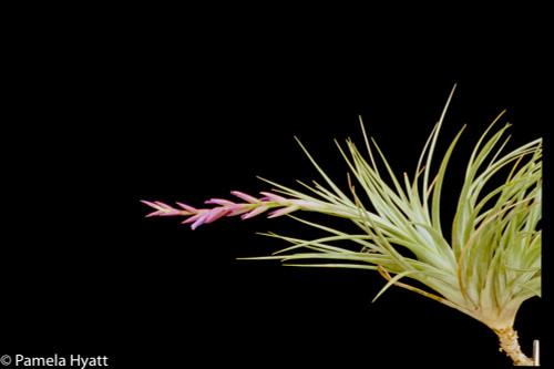Tillandsia pucaraensis