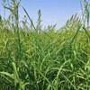 Barnyard Grass