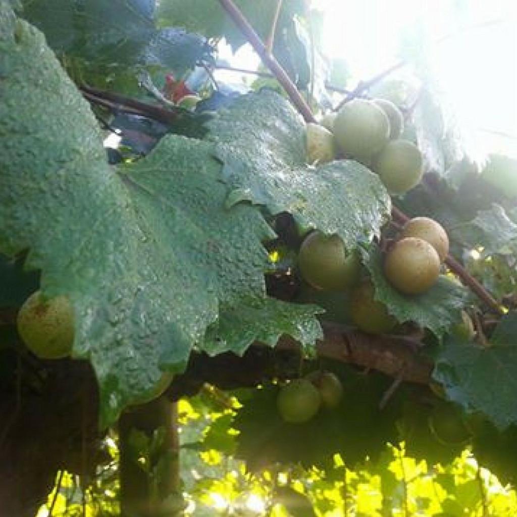Koinonia Farm Muscadine Grape Vine
