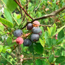 Koinonia Farm Ripe blueberries on the bush