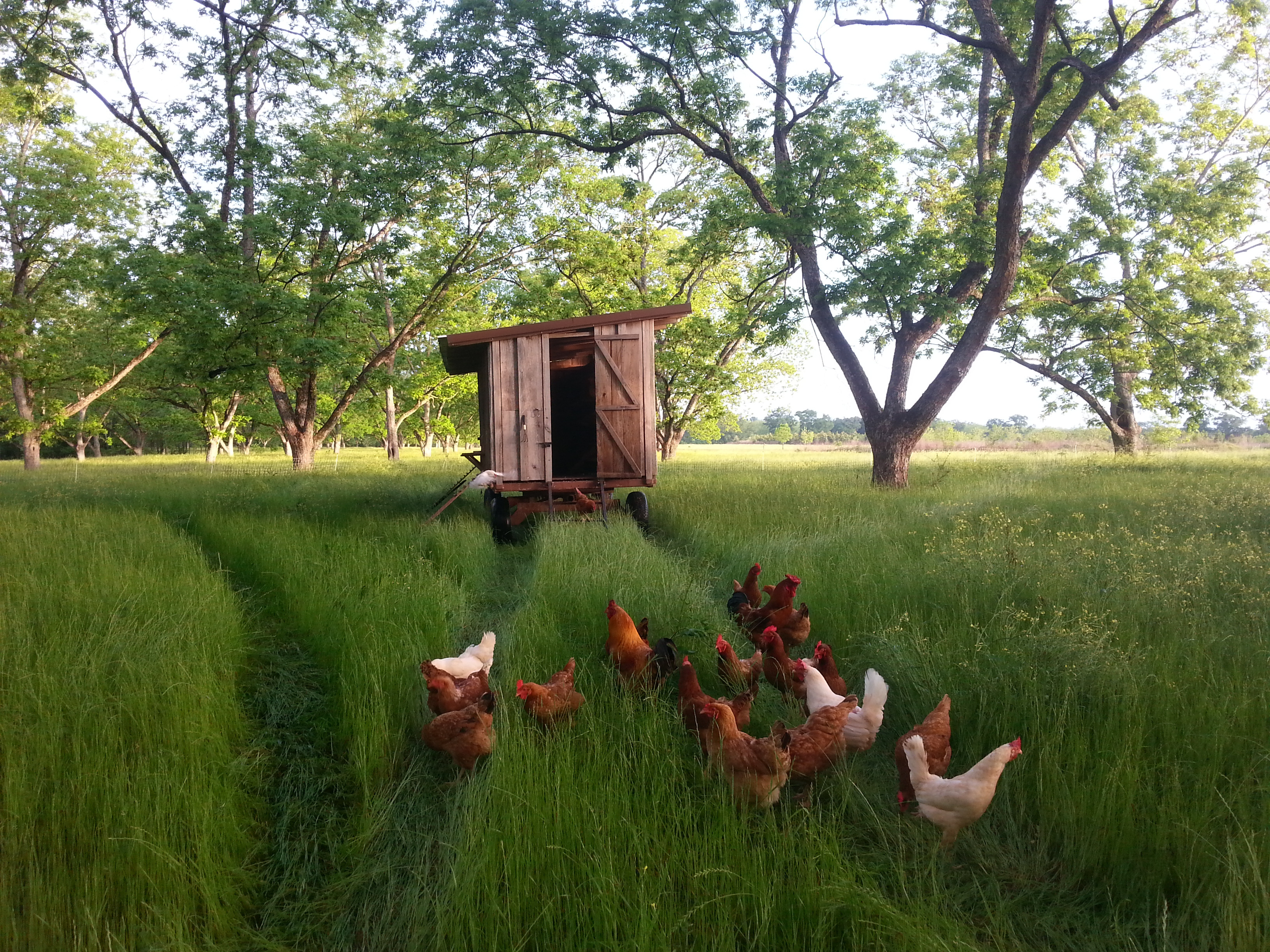 earlymorningchickens.jpg