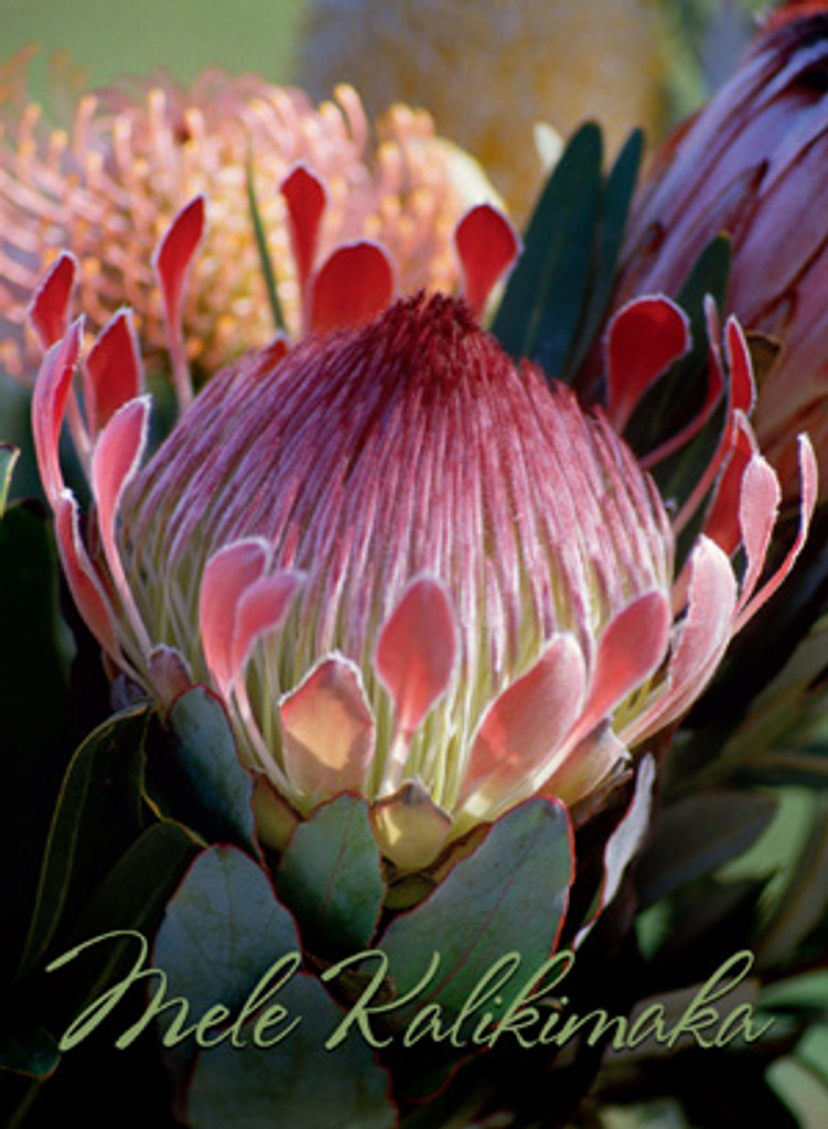 Christmas Cards - Coral Cards Floral - 1027 / King protea / 10 cards per box