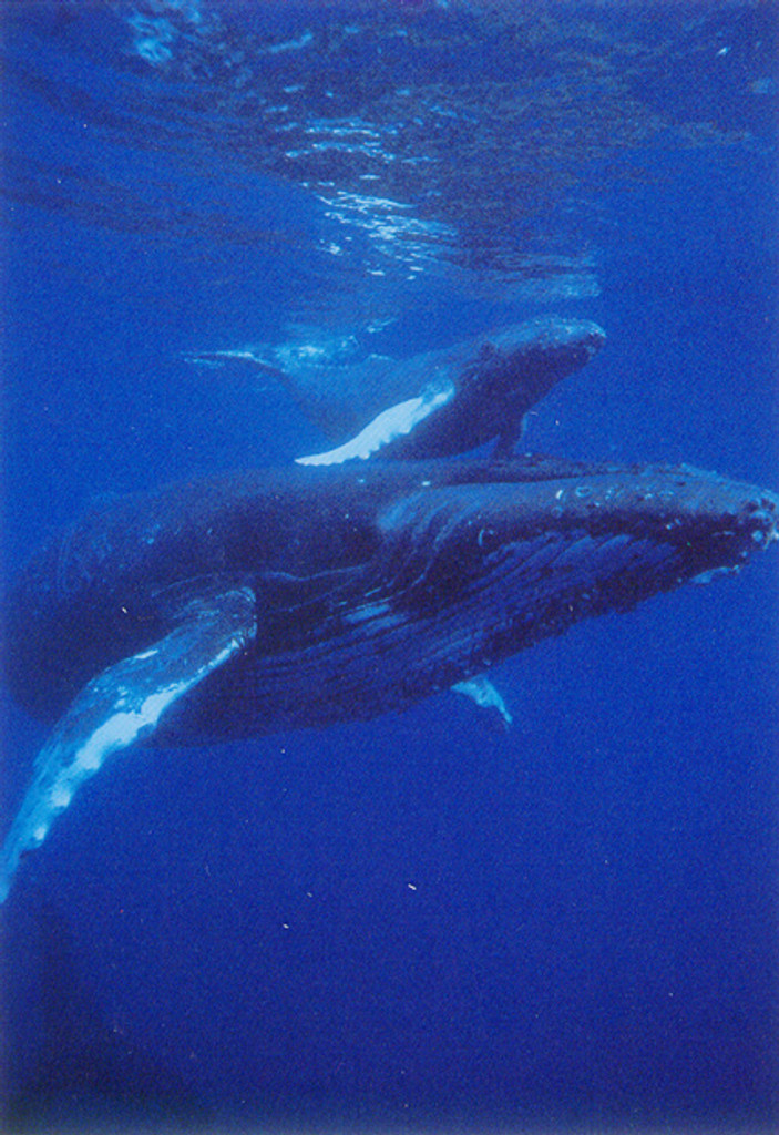 P328 - Humpbacks Postcard 50 Pack