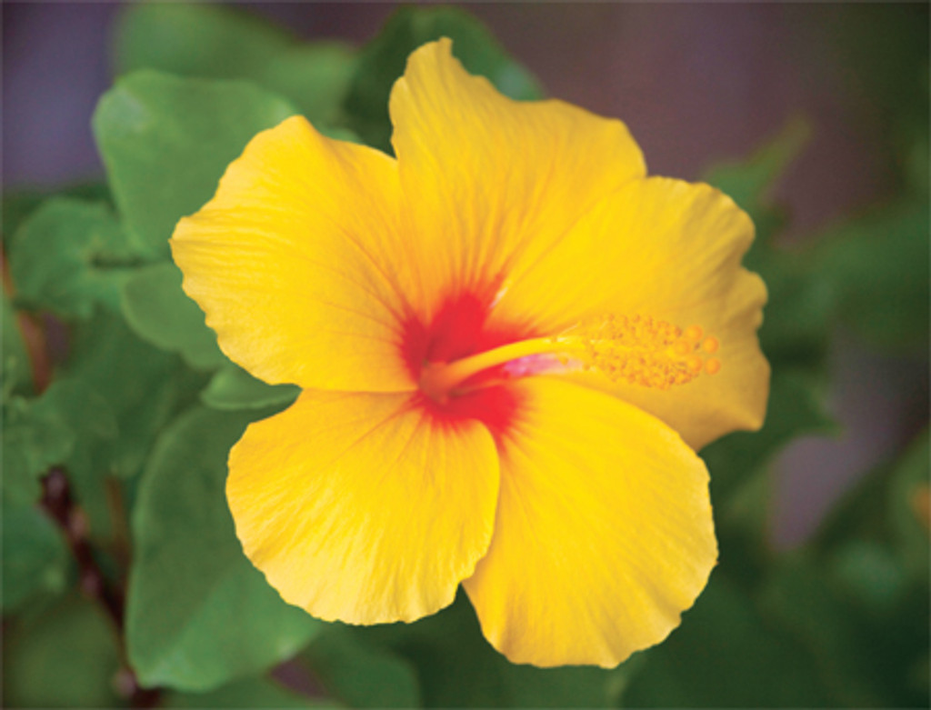Yellow Hibiscus notes - Boxed Notecards
