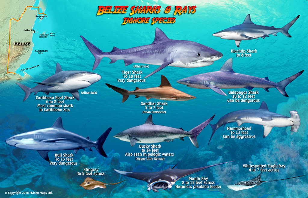 Belize Sharks and Ray