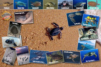 Sea Turtle Life Cycle Laminated Poster