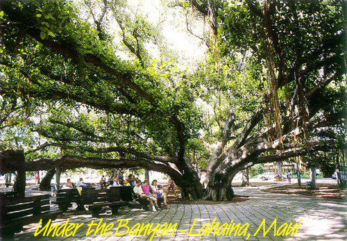 P324 - Banyan Tree Postcard 50 Pack