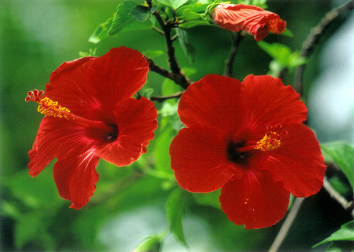 P035 - Red Hibiscus Postcard 50 Pack