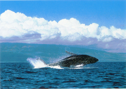 P310 - Whale Breach Postcard 50 Pack