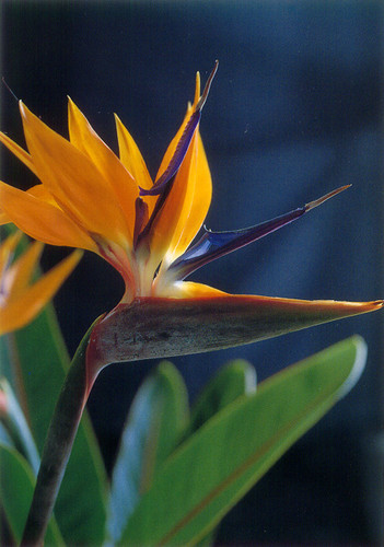 P267 - Bird of Paradise Postcard 50 Pack