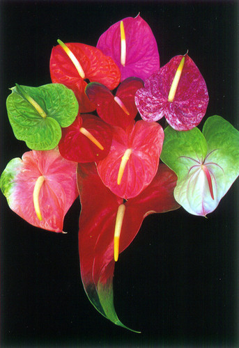 P013 - Trop Anthurium Postcard 50 Pack