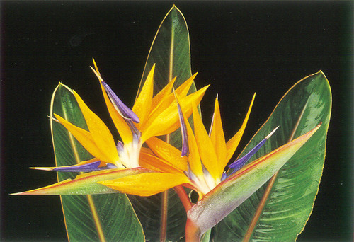 P011 - Bird of Paradise Postcard 50 Pack