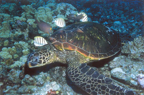 P065 - Green Sea Turtle Postcard 50 Pack