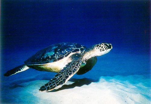 P039 - Undersea Turtle Postcard 50 Pack