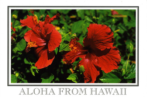 P826 - Red Hibiscus - Border Postcard 50 Pack
