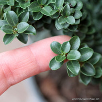 Ilex crenata 'Dwarf Pagoda' (Japanese Holly) Zn5/6