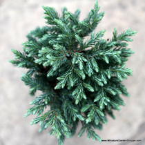 Chamaecyparis pisifera 'Blue Moon' (Sawara Cypress) Zn4