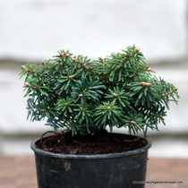 Abies koreana 'Cis' (Korean Fir) Zn4