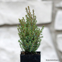 Juniperus communis 'Miniature'. (Common Juniper) Zn4