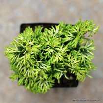 Chamaecyparis obtusa 'Butter Ball'. (Hinoki Cypress) Zn5
