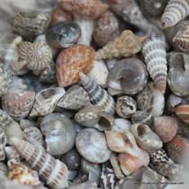 Miniature Seashells