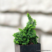 Chamaecyparis obtusa 'Gemstone'. (Hinoki Cypress) Zn5