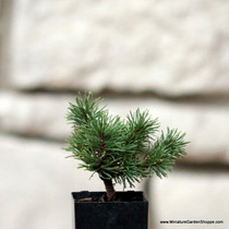 Pinus mugo 'Valley Cushion' (Mugo Pine) Zn2