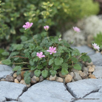 Erodium x variabile 'Flore Pleno'.