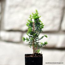 Chamaecyparis thyoides 'Top Point' (Atlantic White Cedar) Zn5