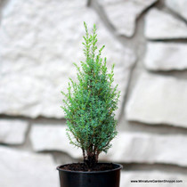 Juniperus communis 'Miniature' (Common Juniper) Zn4