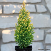 Chamaecyparis lawsoniana 'Treasure Island' (Lawson Cypress) Zn5
